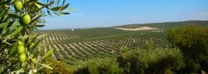 Spain is the biggest olive oil producer